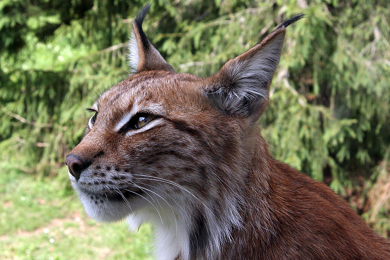 File:Lynx lynx-4.JPG