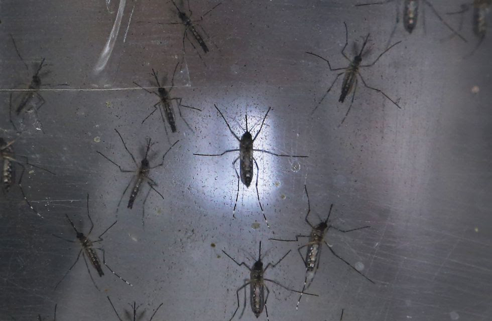 Mosquitos Aedes aegypti, transmisores del virus del zika, en un laboratorio