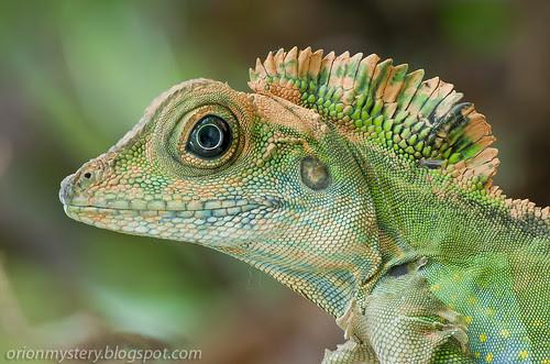 IMG_7907 stk copy Gonocephalus grandis, great anglehead lizard