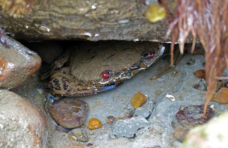 25871 - Velvet Swimming Crab, Seatown