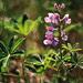 Whistler Wildflowers 1600x1200
