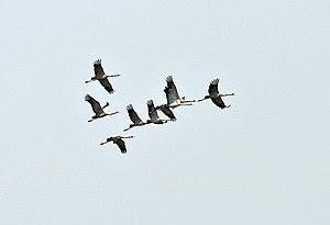 English: Common Cranes (Grus grus) at Sultanpu...