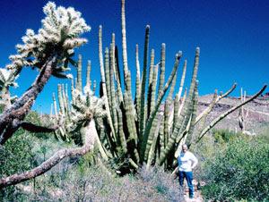 Organ Pipe cactus in Arizona