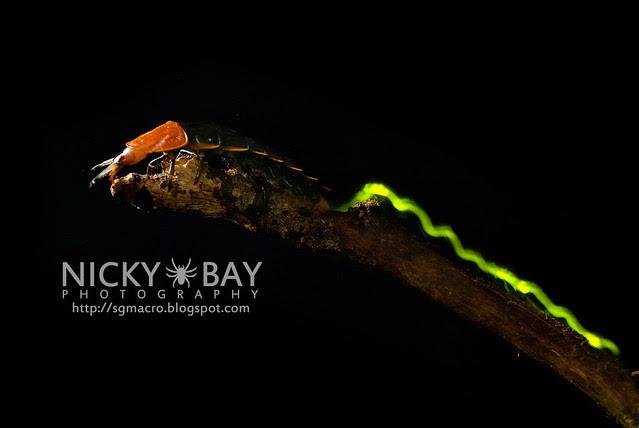 Firefly larva (Lampyridae) - DSC_5584