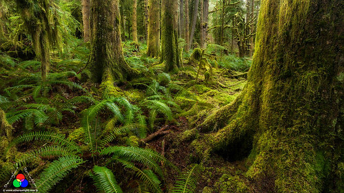 Enchantment amongst the moss and ferns. Oregon Rainforest. by Douglas Remington - Ethereal Light® Photography
