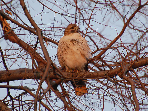 Riverside Park Male Red-Tailed Hawk