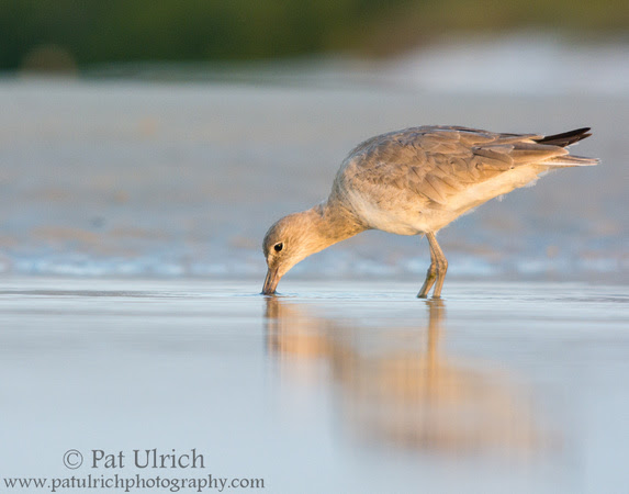 Wildlife Photography by Pat Ulrich: Willets &emdash; Willet probing the sand
