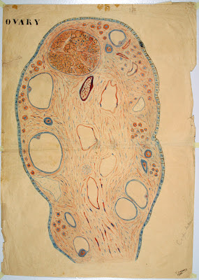 Cross section of Ovary from Lebanese Medical Instruction poster 1940s