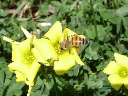 Bee on sorrel blossom