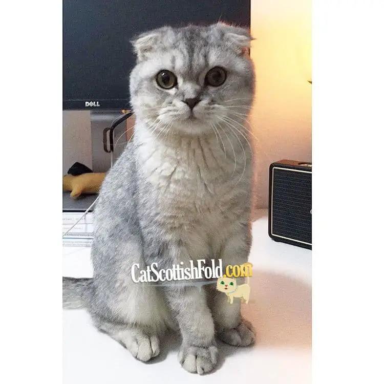 Scottish Fold British Shorthair Munchkin Cat Cat S Blog