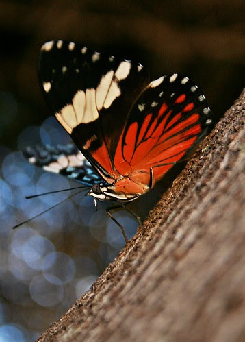 Amphinome Red Cracker  - Hamadryas amphinome