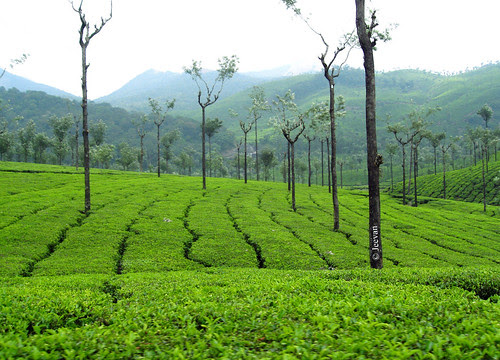 Pachamalai Tea Estate, Valparai
