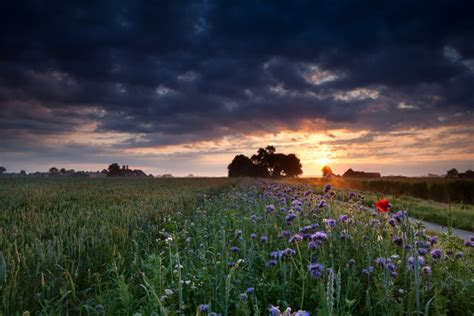 farm  roadside blossoming flowers  sunset background