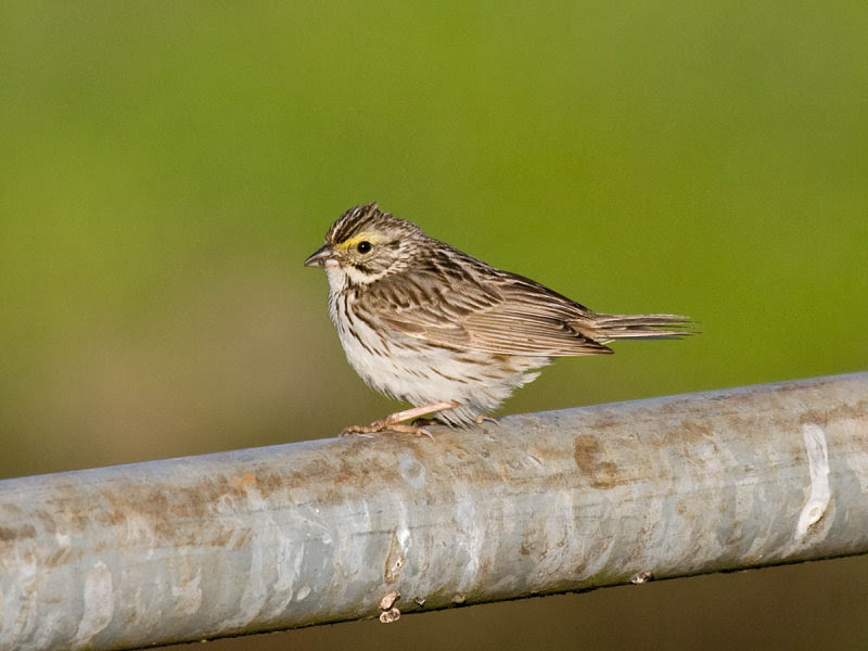 Brook's Savannah Sparrow