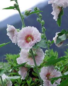 花 タチアオイ6月23日の花と花言葉 タチアオイ魅る魅るガーデニング