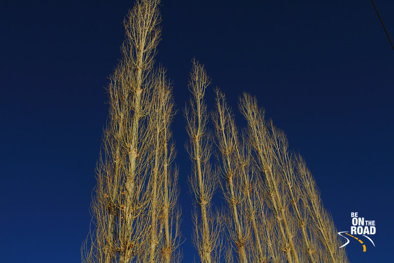 Barren trees against the clear blue Leh Sky