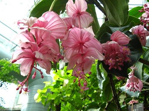 online garden plants australia  malaysian orchid  medinilla magnifica  plant