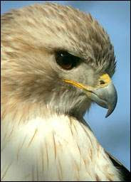 hawks4