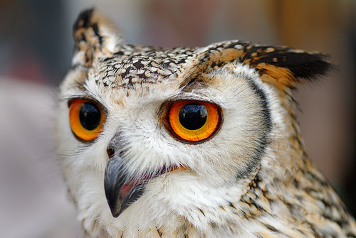 Indian Eagle Owl (star of Harry Potter)