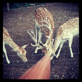 Feeding the #deer at Smolak Farm