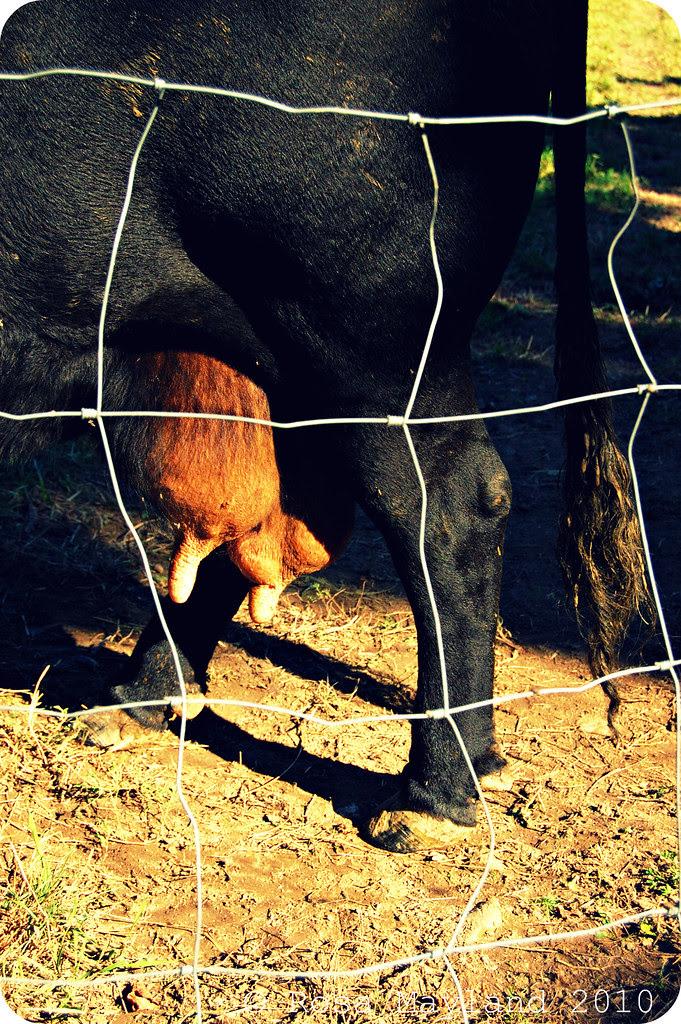 Cows 3.1 bis