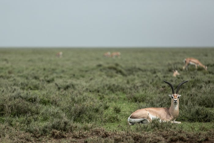 In this photo taken Saturday, Jan. 17, 2015, impalas rest in Serengeti National Park, west of Arusha, northern Tanzania. The park is the oldest and most popular national park in Tanzania and is known for its annual migration of millions of wildebeests, zebras and gazelles.
