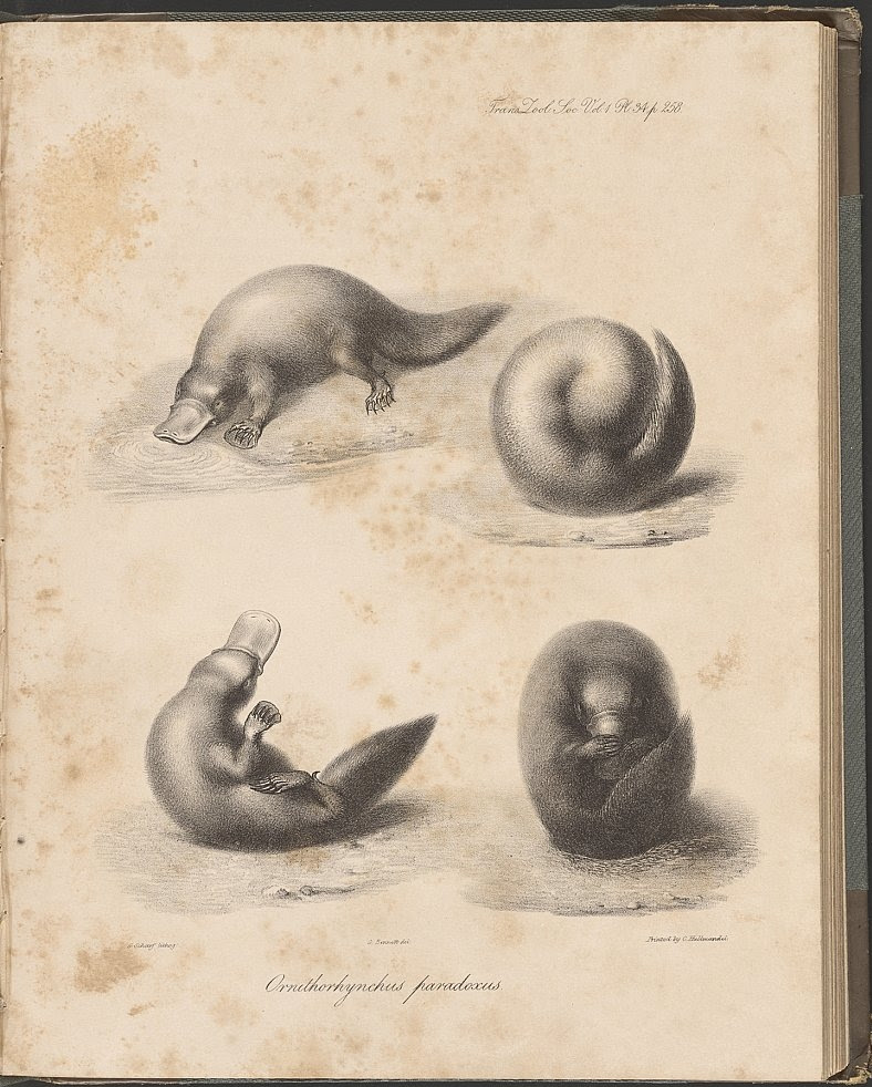 Notes on the natural history and habits of the ornithorhynchus paradoxus, 1832 by George Bennett