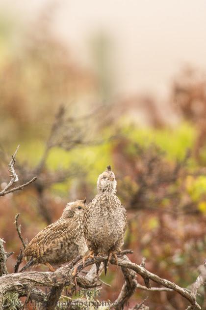 California quail fledgling singing in Point Reyes National Seashore