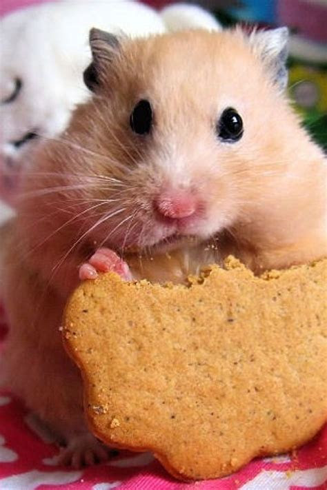Hamster Cake Cake Ideas and Designs
