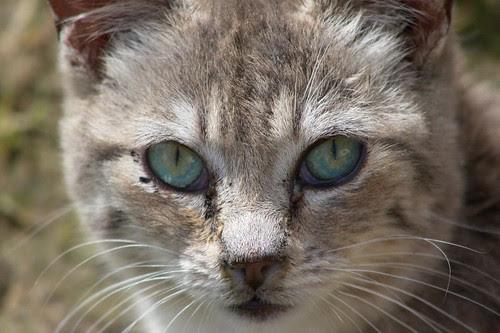Silver Tabby Kitten Close-up