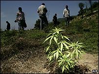 Planta de marihuana en Acapulco, México