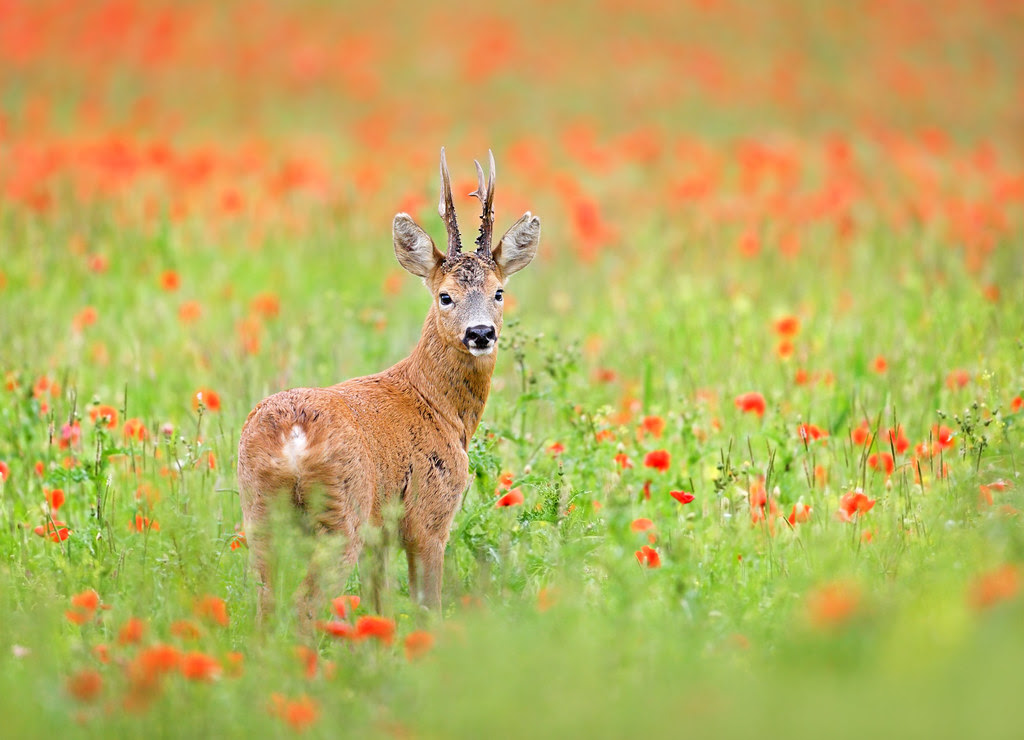 Roe deer, Pyecombe
