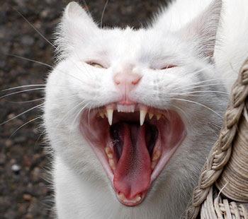 cat's teeth