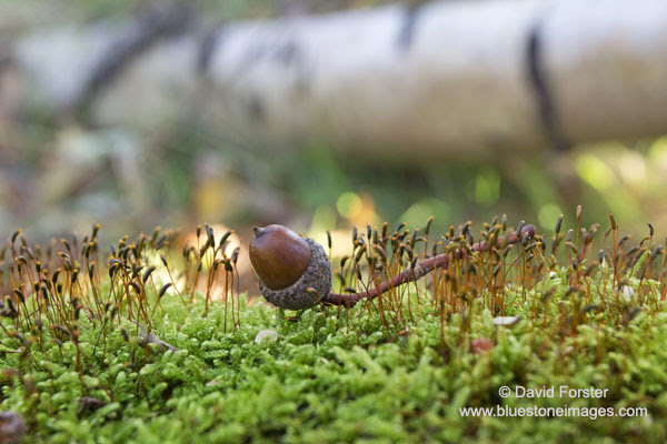 06D-6312 Acorn from the Pedunculate Oak (English Oak) Tree Quercus robur Laying on a Moss Covered Woodland Floor England UK