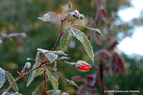 Frost on mutabilis rose buds