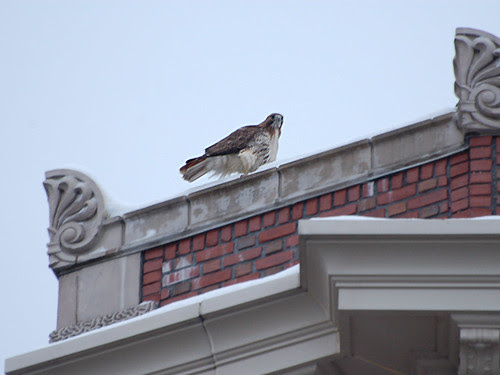Red-Tail on Morningside