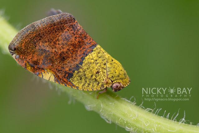 Moth-Like Planthopper (Ricarniidae) - DSC_3195