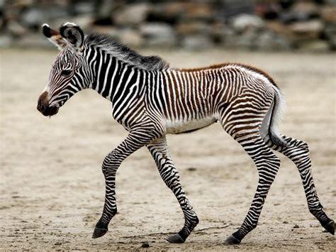 cute young zebra running hd wallpaper   mobile