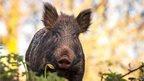 Wild boar by Martyn Willliams