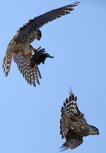File:Falco columbarius pair Auburn NY 3.jpg