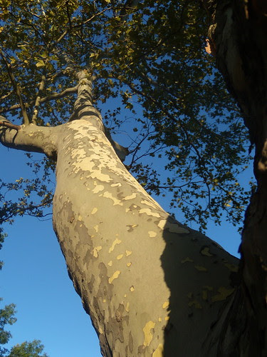 Sycamore Tree at Wernersville