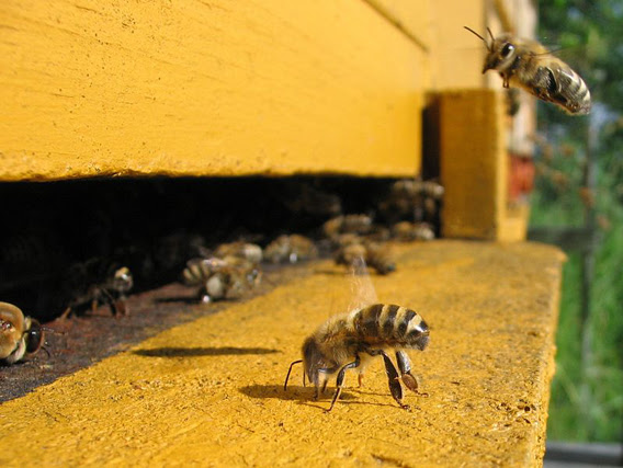 Honeybees in an apiary in Germany. Photo by: Björn Appel.