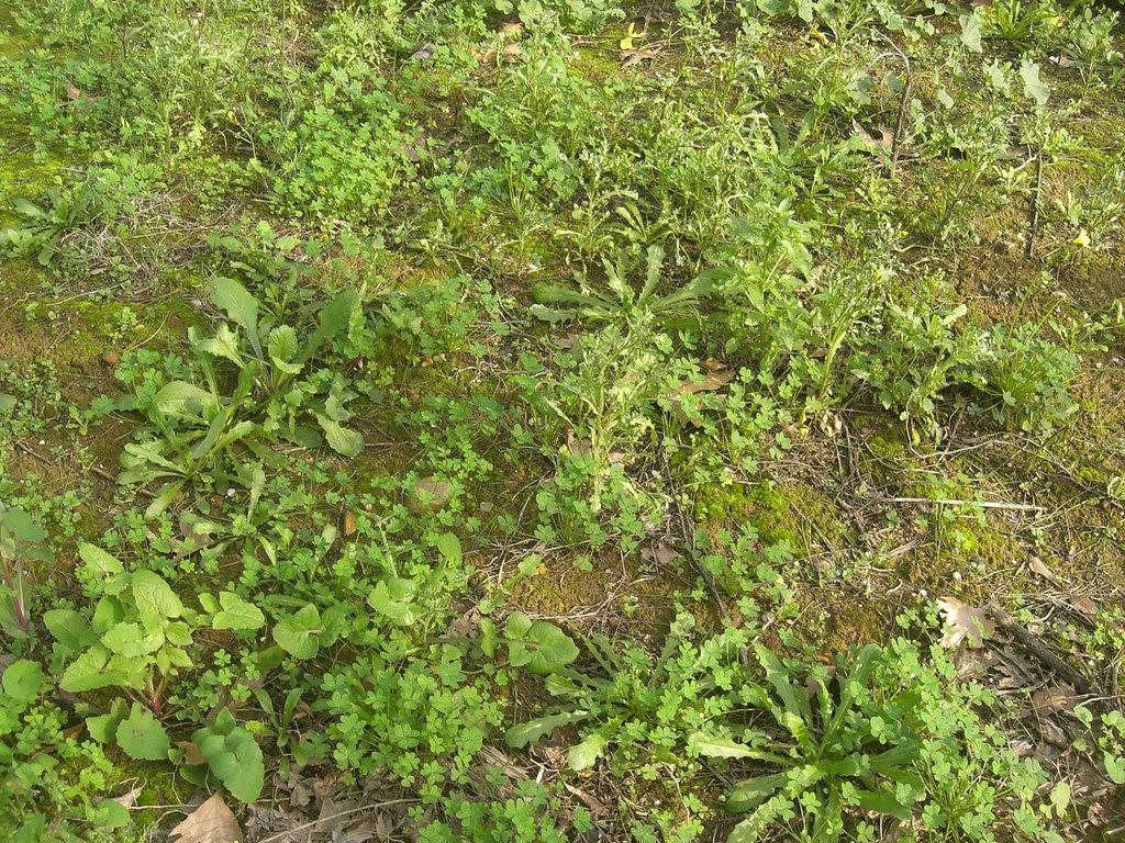 maich greens