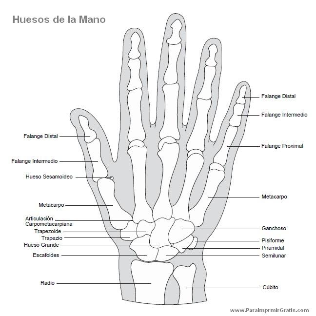 huesos_de_la_mano