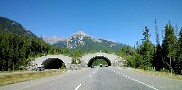 wildlife crossing, Trans-Canada 1 in Banff National Park