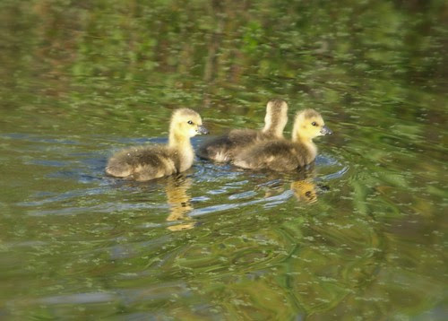 Huey Duey and Louey swim in the Duckweed