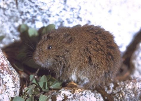 Strachey's mountain vole