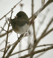Dark-eyed Junco (Junco hyemalis) Great Backyar...
