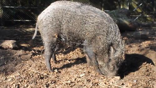 boar02