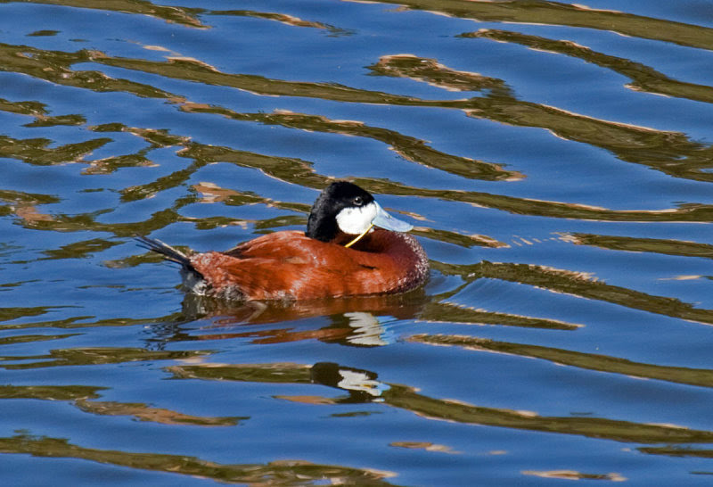 Ruddy Duck with plastic garbage